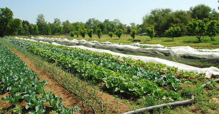 summer crops in field